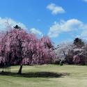 兵庫県で春にお花見ができる桜のきれいなゴルフ場特集