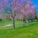 神奈川県で春にお花見ができる桜のきれいなゴルフ場特集