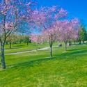 愛知県で春にお花見ができる桜のきれいなゴルフ場特集