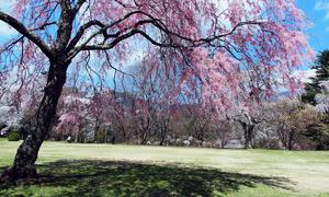 三重県で春にお花見ができる桜のきれいなゴルフ場特集